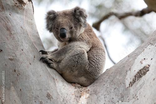 Garden Poster Koala Sonnenuntergang