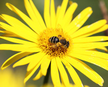 Yellow Daisy And A Bee On It