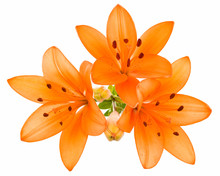Orange Lily Isolated
