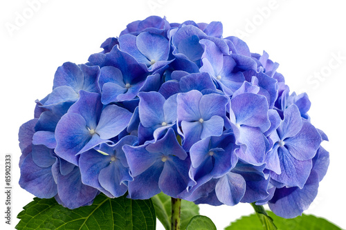 Stickers pour porte Hortensia Purple hydrangea flower