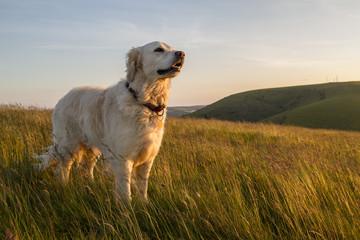 Fototapeta Pies dog enjoying evening sun walk
