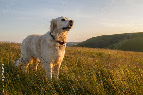 dog enjoying evening sun walk Poster