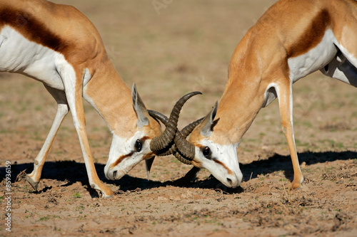 Poster Antilope Two male springbok antelopes (Antidorcas marsupialis) fighting for territory, Kalahari desert, South Africa