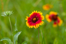 Indian Blanket Flower In The S...