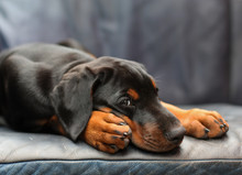 Puppy Doberman Pinscher 8 Week...