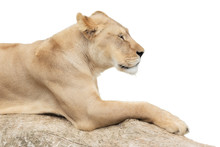 Resting Lioness On White Background