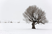 Lonely Tree In A Soft , Tranquil And Snowy Environment In Winter Time.