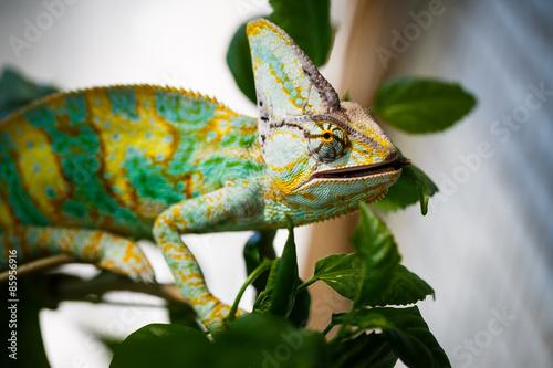 Cadres-photo bureau Cameleon Yemen chameleon