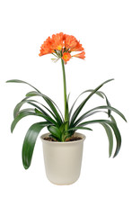 Clivia Miniata In Full Bloom