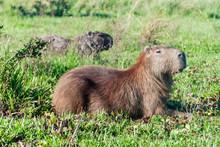 Capybara In Esteros Del Ibera