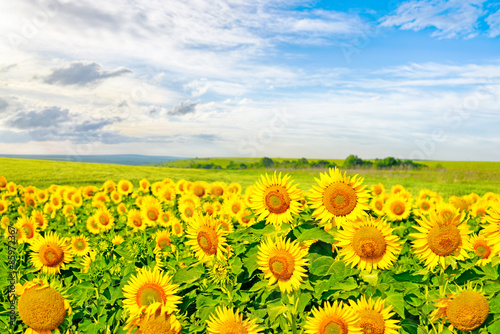 Sunflowers on a large field of sunflowers - 85972367