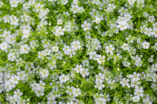 Background of little white flowers blooming bush buy this stock background of little white flowers blooming bush mightylinksfo