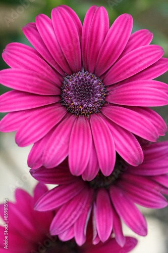 Deurstickers Roze デイジーの花