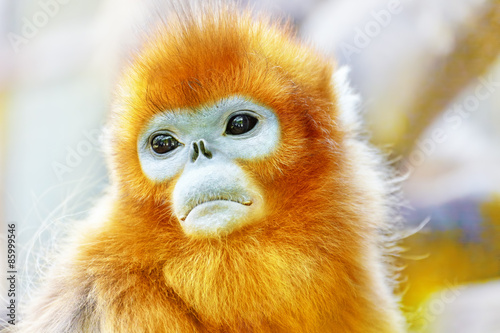 Cute golden Snub-Nosed Monkey in his natural habitat of wildlif