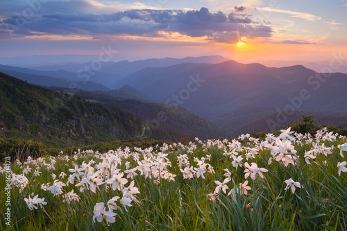Deurstickers Narcis Flowers of daffodils in the mountains
