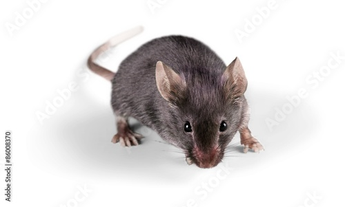 Fotografía  Mouse, Rodent, Animal.