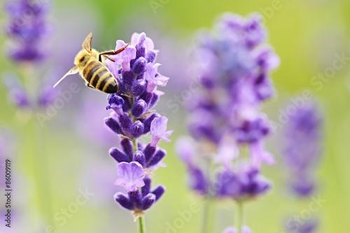 Fotobehang Lavendel Abeille dans la lavande