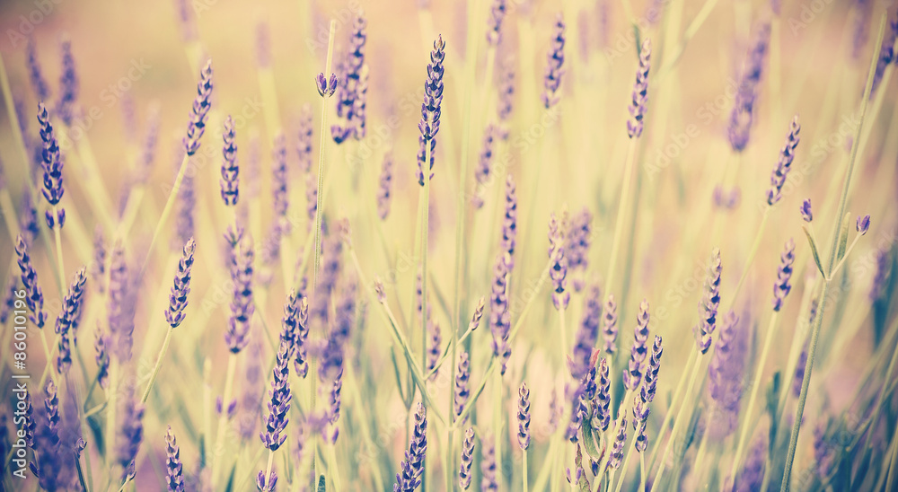 Vintage toned lavender flower, shallow depth of field.