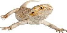 Bearded Dragon, Lizard, Iguana.