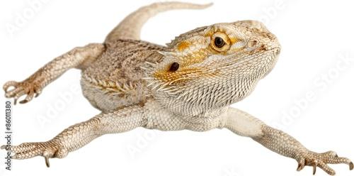 Fotografie, Obraz Bearded Dragon, Lizard, Iguana.