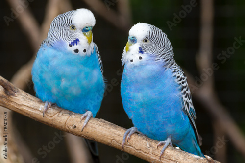 Foto op Canvas Vogel Blue Parakeets