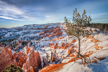 Lone Pine Tree In Bryce Canyon Winter