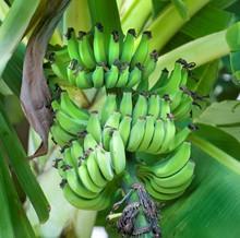 Green Bananas Ripening On A Tree