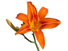 Red Daylily Flower Isolated On White