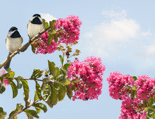 Carolina Chickadees Poecile Carolinensis In A Blooming Crape Myr