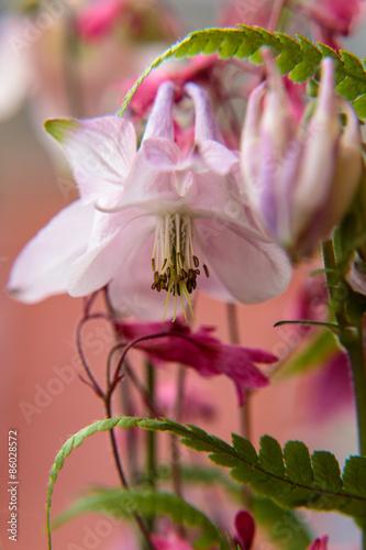 Blüte einer Akeleien<br>@ p(AS)ob