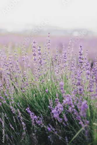 Lavender field at the sunset #86032354