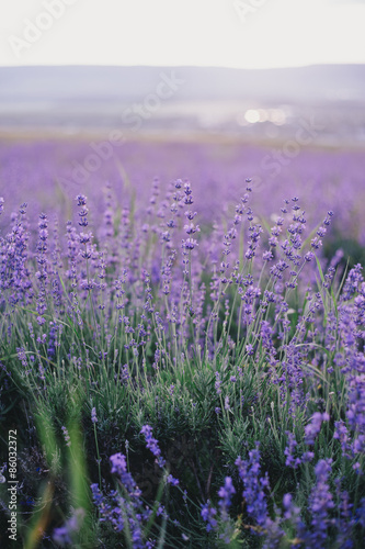 Lavender field at the sunset #86032372