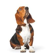 Basset Hound, Hound, Dog.