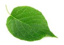 Kiwi Leaf On A White Background