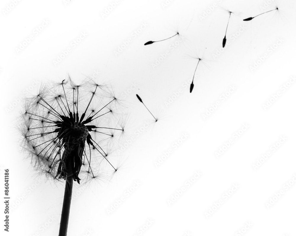 Fototapety, obrazy: Dandelion, Single Flower, Flower.