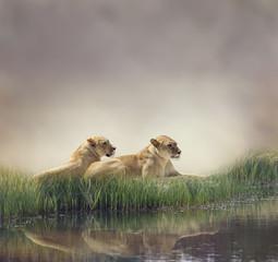 Fototapeta na wymiar Female Lions