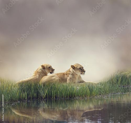 Obrazy na płótnie Canvas Female Lions