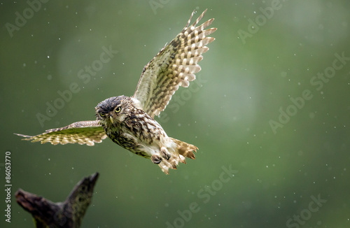 Fotobehang Uil A little owl flying into land on an old branch in the rain