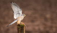 Wings Up! A Wild Kestrel With ...