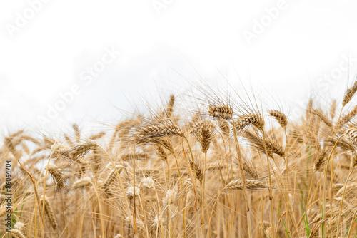 Fotografie, Obraz  Campo di grano maturo, fuoco selettivo