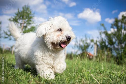 Fototapeta  Coton de Tulear dog playing in garden