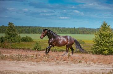 Brown horse runs