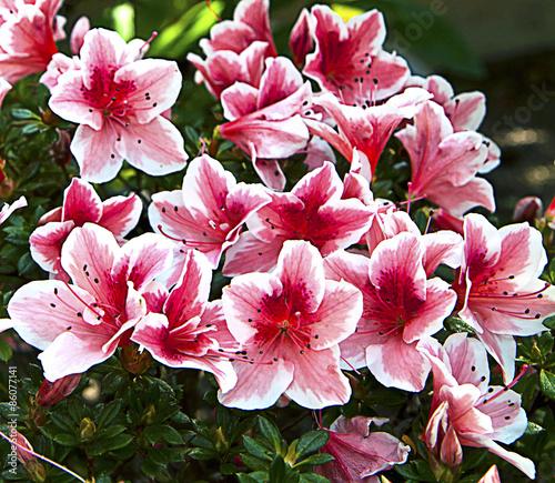 Fotobehang Azalea Pink purple and white azalea flowers