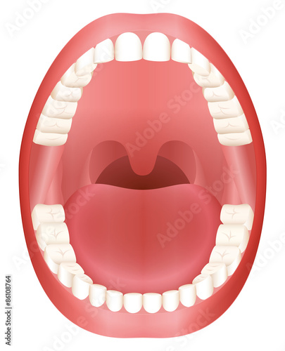 Photo Teeth - open adult mouth model with upper and lower jaw and its thirty-six permanent teeth