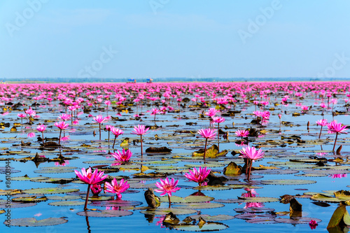 Garden Poster Lotus flower Sea of pink lotus in Udon Thani, Thailand