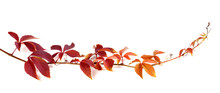 Twig Of Autumn Multicolor Grapes Leaves