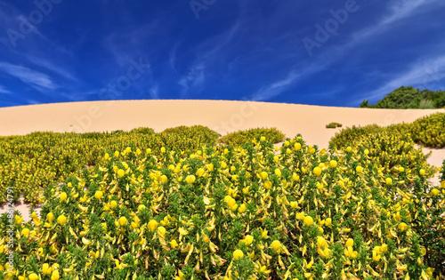 Fotografía  Calicotome Spinosa flowers in Piscinas dune, southwest Sardinia, Italy