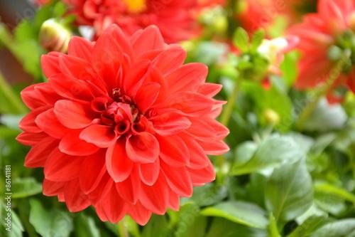 Poster de jardin Dahlia Rote Dahlienblüte