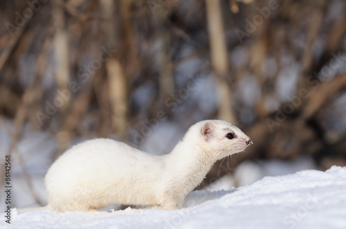 Foto  Side view of white Least Weasel against the bushes