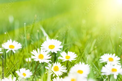 Poster Fleuriste chamomile
